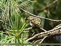 Hume's Warbler (Phylloscopus humei) (36466001032).jpg