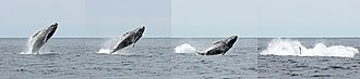 Cetacean surfacing behaviour - Humpback juvenile breach sequence