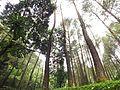 Hutan Pinus di Curug Cilember Bogor.jpg