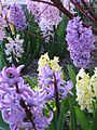 Hyacinths in bloom.jpg
