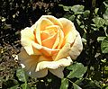 Hybrid Tea - Diamond Jubilee 11 (crop).JPG