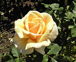 Hybrid Tea - Diamond Jubilee 11 (crop)