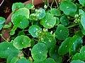 Hydrocotyle umbellata 01.jpg