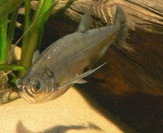 Cynodontidae - Hydrolycus