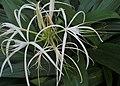 Hymenocallis caribaea kz02.jpg