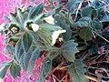 Hyoscyamus albus Plant ParqueNaturalLagunadelaMata.jpg