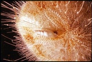 <i>Hypermastus</i> genus of molluscs