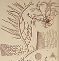 Hypnea musciformis.jpg