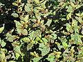 Hypoestes phyllostachya Madagascar 01.jpg