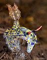 Hypselodoris kanga (42774476081).jpg