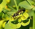 Ichneumon Wasp (32153757532).jpg