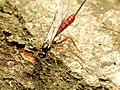 Ichneumon Wasp (34278540642).jpg