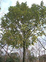 Ilex latifolia2.jpg