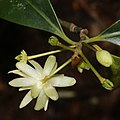 Illicium anisatum (flower s10).jpg