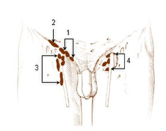 Superficial inguinal lymph nodes - Image: Illu lymph chain 12
