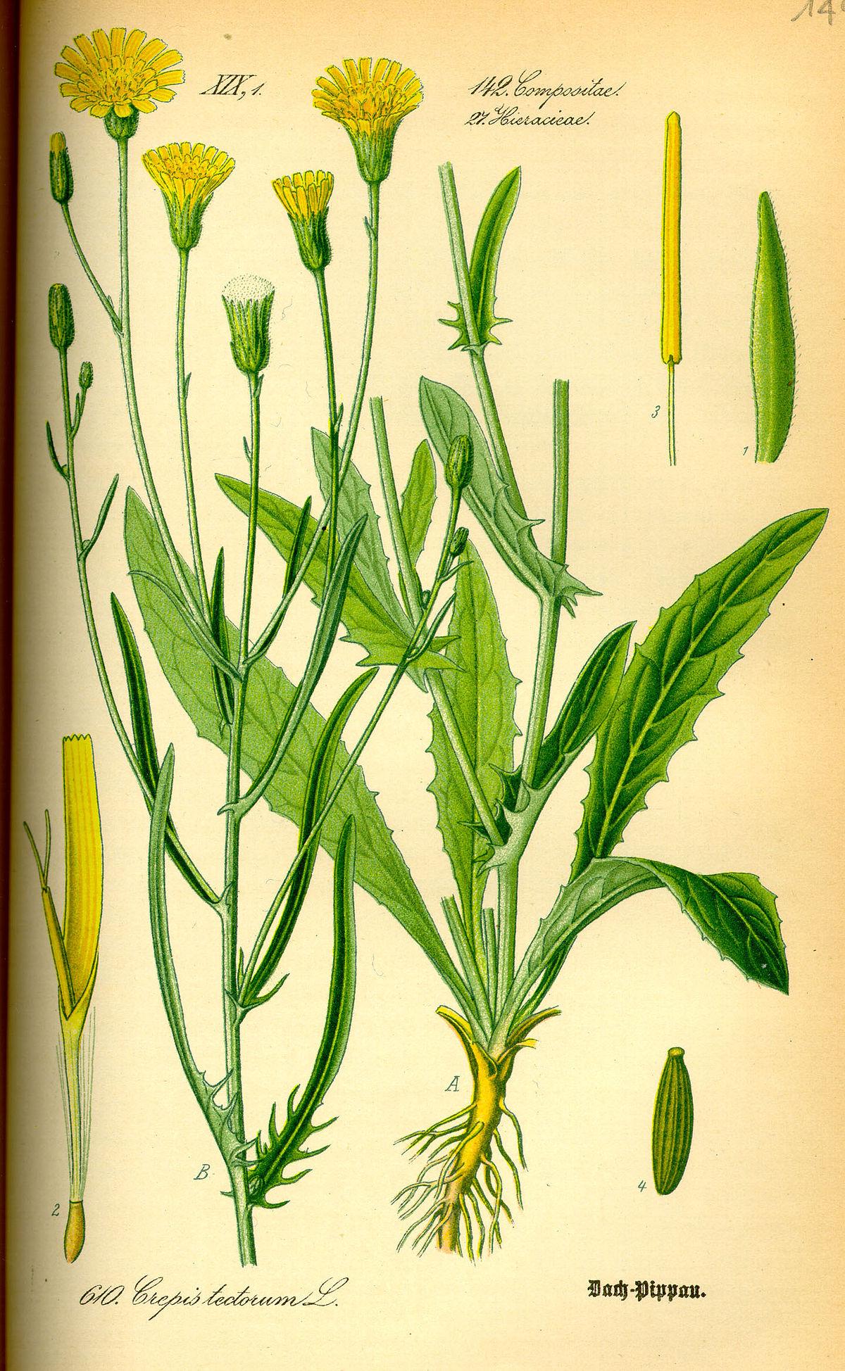Crepis tectorum - Wikispecies - Crepis