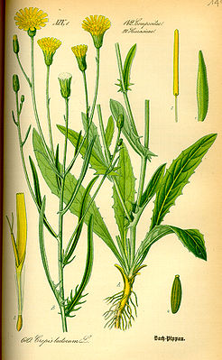 Dach-Pippau (Crepis tectorum), Illustration