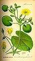 Illustration Nymphoides peltata0.jpg