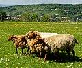 Im Wildpark Bad Mergentheim genießen auch die Nutztiere großes Interesse beim begeisterten Publikum. 03.jpg
