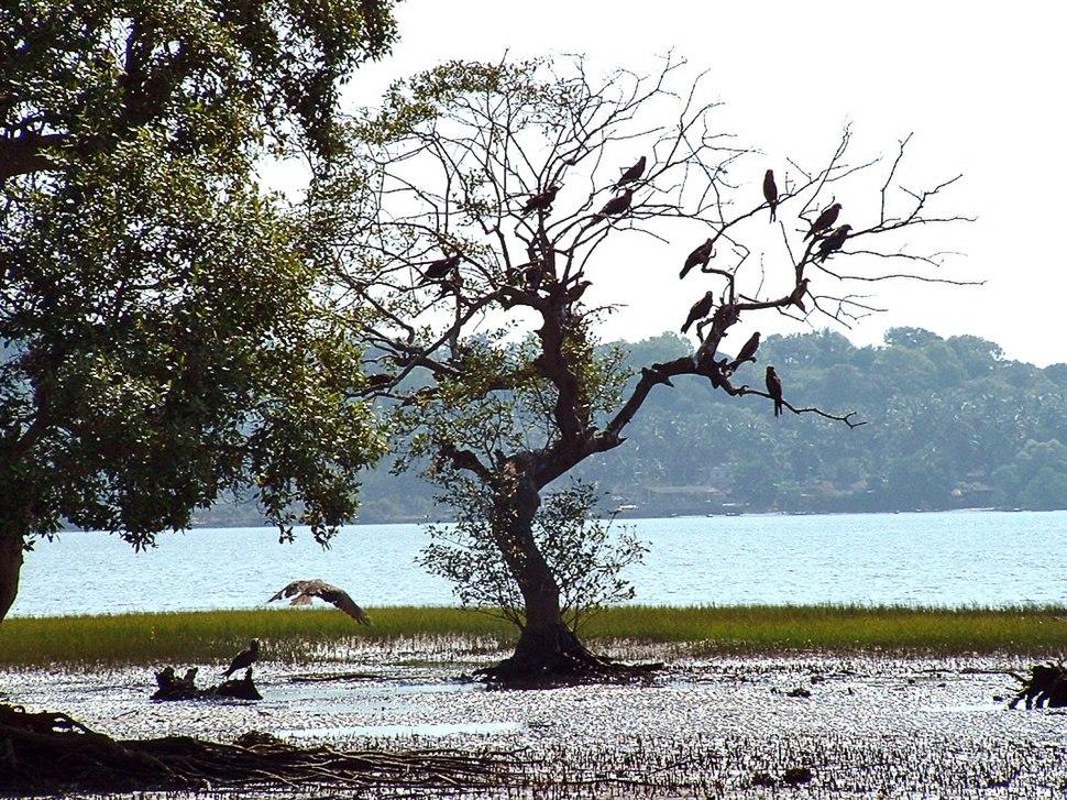 India Goa Chapora River Colony of Birds
