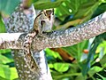 Indian palm squirrel or three-striped palm squirrel spotted in Galle Fort.jpg