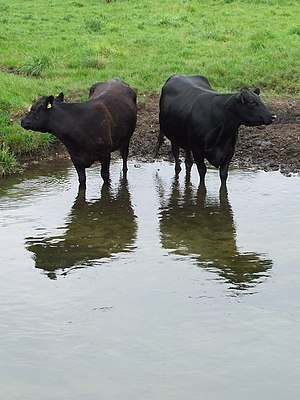 English: Indifferent cows Two cow having had a...