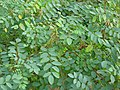 Indigofera tinctoria-3-papanasam-tirunelveli-India.jpg
