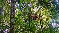 Indonesia - Bukit Lawang (26280089450).jpg