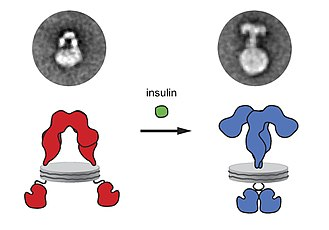 Insulin receptor - Ligand-induced conformation changes in the full-length human insulin receptor reconstituted in nanodiscs. Left - unactivated receptor conformation; right - insulin-activated receptor conformation. The changes are visualized with the electron microscopy of an individual molecule (upper panel) and schematically depicted as a cartoon (lower panel).