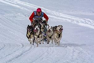 Attelage participant à une course de chiens de traîneaux à Inzell. (définition réelle 4410×2940)