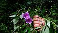 Ipomoea batatoides Choisy (15101670094).jpg