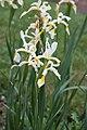 Iris orientalis - Fleurs-2.jpg