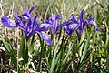 Iris ruthenica - Bucegi, Jepii mici 5.jpg