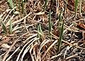 Iris sibirica kz01.jpg
