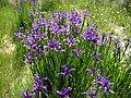 Iris spuria ssp maritima 3 (Espagne).JPG