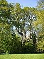 Irish Oak, Oak Cottage - geograph.org.uk - 423332.jpg