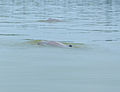 Irrawaddy Dolphins (Orcaella brevirostris) (15223253654).jpg