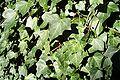 Ivy 55uf.jpg