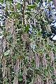 J.A. Witt Winter Garden 09 - Garrya x issaquahensis 'Carl English'.jpg