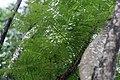 Jacaranda mimosifolia 18zz.jpg