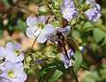 Jacob's Ladder Polemonium reptens Wasp 2579px.jpg