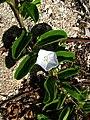Jacquemontia sandwicensis (6016710010).jpg