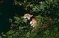 "Jaguar (Panthera onca) male in ""Flehmen"" attitude (10532577754).jpg"