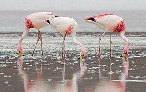 James's flamingo - Feeding at Laguna Hedionda, Bolivia.