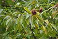 Japanese Chestnut (Castanea crenata) (23010217995).jpg