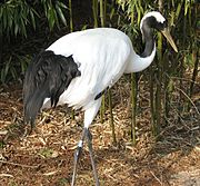 Japanese Red Crowned Crane Image 010
