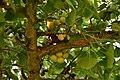 Japanse Notenboom (Ginkgo biloba).jpg