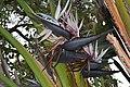 Jardim Botânico da Madeira DSC 0217 (14513361310).jpg