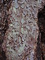 Jeffrey pine bark puzzle-pieces.jpg