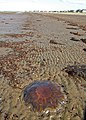 Jelly Fish, Barassie Sands - geograph.org.uk - 977421.jpg